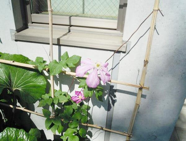 テッセンが2輪咲きました。