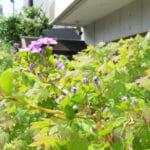 ニオイバンマツリの花 芳香が強いので庭の外